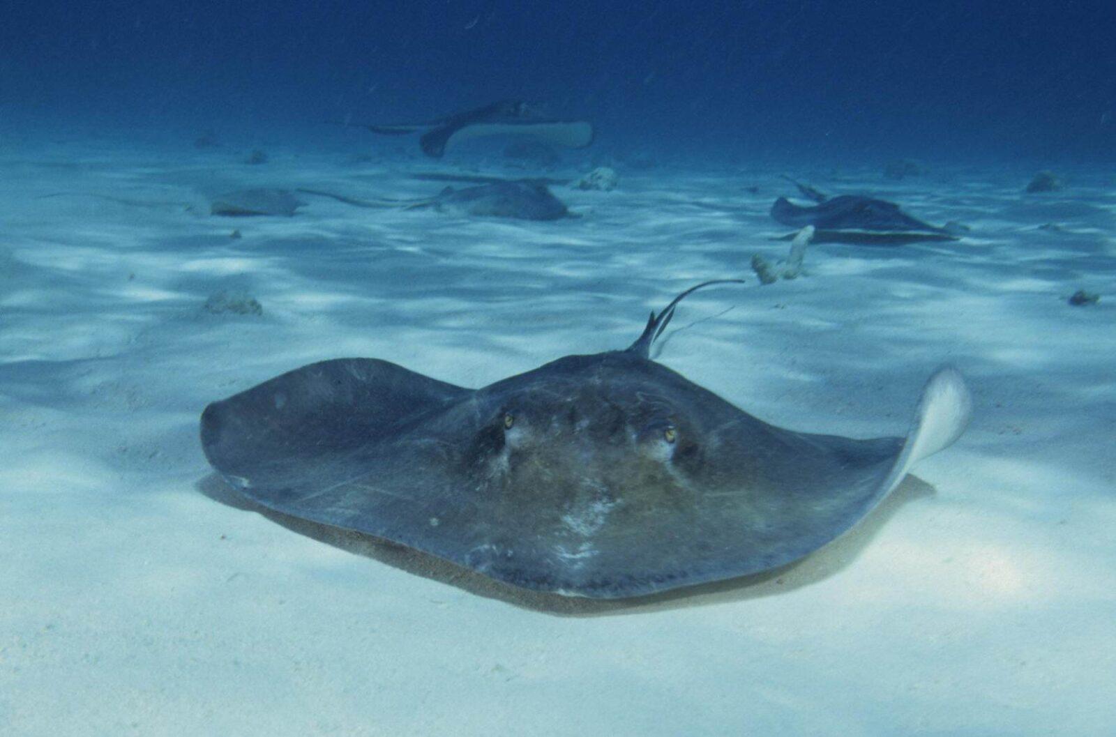 Почему подводные роботы должны плавать как скаты?