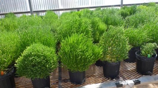 Пустынные растения пройдут испытания для производства авиационного биотоплива