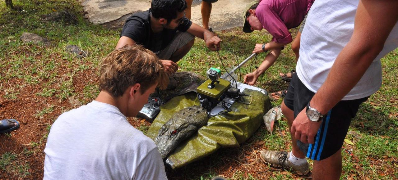 Смотрите, как робо-крокодил подкрадывается к бегемотам