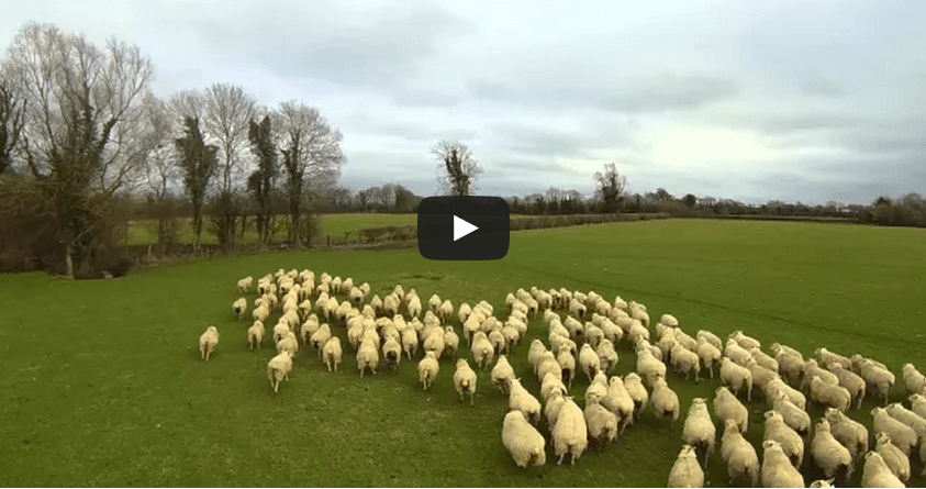 Дрон пасет стадо овец